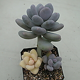 홍미인금 Pachyphytum ovefeum cv. momobijin