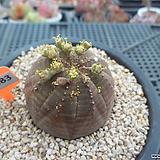 오베사(수)4-1483|Baseball Plant (Euphorbia obesa)