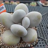 문스톤4-1506|Pachyphytum Oviferum Moon Stone