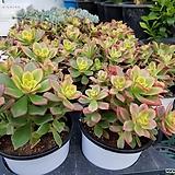 까라솔(일월금)-중|Aeonium decorum f variegata