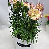 카네이션투톤꽃바구니12~04|