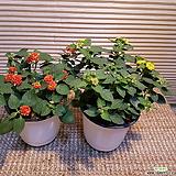 난타나(2개묶음판매  ) 잎에서 향기가 가득해요|