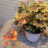 벤쿠버(단풍제라늄)잎이 단풍잎처럼 생가아이에요|