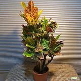 제법목대가 있는 크로톤(♡화분에 심으면 더욱 예뼈요)|Codiaeum Variegatum Blume Var Hookerianum