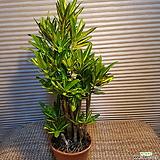 제법목대가있는바나나 크로톤|Codiaeum Variegatum Blume Var Hookerianum