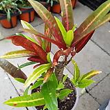 크로톤 009|Codiaeum Variegatum Blume Var Hookerianum