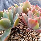 레인보우선셋금(4두목대적심한몸) 4-299|Echeveria Rainbow Sunset