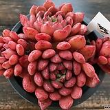 핑클루비1817|Sedeveria pink rubby