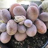 문스톤군생1557|Pachyphytum Oviferum Moon Stone
