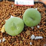 C. wettsteinii.ssp 탈피전 No.0002|