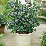 열매열린 선샤인블루 블루베리 대품♥가정재배 최적화 품종♥블루베리나무 묘목 