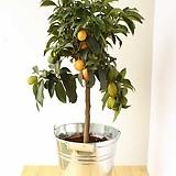 자가수정 유주나무♥작고 귀여운 오렌지색 열매가 주렁주렁~♥ 