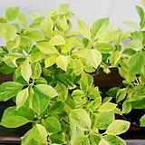 황금 개나리♥황금빛의 잎을 가진 특이한 식물♥황금개나리 