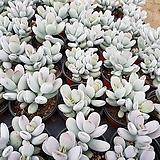 방울복랑(3)|Cotyledon orbiculata cv