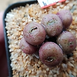 C. flavum.ssp 6두 탈피전 No.004|
