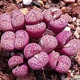 위트버젠스17두|Conophytum Wittebergense