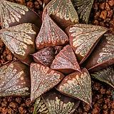브라운스타피쉬(Brown Star Fish)-03-30-No.258|