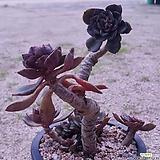 원종모라니목대군생대품|Echeveria moranii
