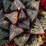 젤리스타(Jelly Star)-4-15-No.선명하게 들어가는 붉은라인과 마릴린처럼 도톰한 창속 짙은자선이 아름다운|