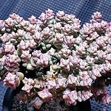 희성금목대군생대품|Crassula Rupestris variegata