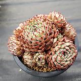 원종턱시판대품자연군생85(15두이상) Echeveria tuxpan