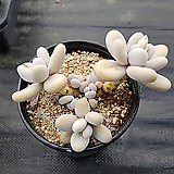 문스톤대품자연군생40 Pachyphytum Oviferum Moon Stone