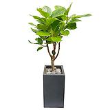뱅갈Ficus elastica관엽식물|Ficus elastica