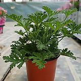 Pelargonium capitatum|Pelargonium capitatum