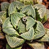 로이드(Lloyd)-4-15-No.맑고 두투언 요철창에,  환엽 형태가 아름다운 로이드 품종.|Echeveria minima hyb Roid