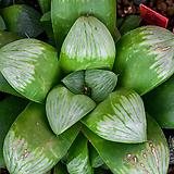 녹접(綠蝶)(Nog-Jeob)-4-15-No.선명한 특백창에, 싱그러운 녹빛이 함께 들어가는 아름다운 녹접 품종.  |