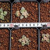 특모우 피그마에아(特毛羽 pygmaea)-4-15-No.|Haworthia pygmaea
