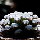 도도손(OB-1) -4-15-No.잎이 크고 맑은창에 짙은 자색으로 단풍이 듭니다.