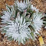 화이트그리니대품자연군생61 Dudleya White gnoma(White greenii / White sprite)
