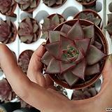 레드에보니|Echeveria agavoides ebony red
