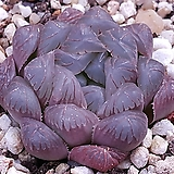수정&블랙옵투사성체|Haworthia cymbiformis var. obtusa