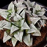 백운아트로푸스카(白雲 atrofusca)-4-15-No.매우 하얗게되며 짙은 자선이들어가는 아름다운품종입니다.|