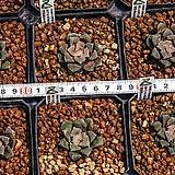 귀문 (龜紋)-4-15-No.특달마창에, 짙은 자색으로 단풍이 드는 아름다운 품종.|