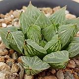 하월시아그린우디5422|haworthia