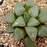하월시아코렉타x콤프토니아5423|haworthia