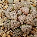 픽타 판도라실생특선발5424|Haworthia picta