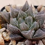 쿠페리로스트태그5434|Haworthia cooperi