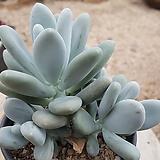 星美人|Pachyphytum oviferum