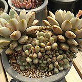 홍포도(자연)00|Graptoveria Ametum