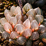블랙옵투사 무금묘(Black obtusa 錦(無錦苗)-4-15-No. 발색이 아름다운 금타입은 매우 보기드물답니다.  이 품종에서 나온 무금묘 품종.|Haworthia cymbiformis var. obtusa