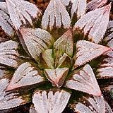 백설(白雪)-4-15-No.매우 아름답게 단풍이들어, 모든분들에게 사랑을받는 백설품종입니다. 로제트형태의 수형이 매우 아름다우며,|sedum spathulifolium