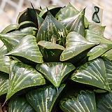윤성(潤星)-4-15-No.매우 맑은 크리스탈 돔형창에  바디아의 날렵한 잎장과, 붉은라인. 굵은백선 속 짙은자선이 매우 독특하죠.|