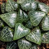 월영(월령)(月影)-4-15-No.잎이 매우 맑고 선명한 백선들이 우수하여  매우 유명한 품종입니다.|Echeveria elegans