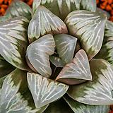 크리스탈무티카 (Crystal Mutica)-4-15-No.특 대형 달마창에, 크리스탈 빛감의 맑은창에 자색이 매우 짙고 선명하게들어가는 명품.|Echeveria elegans potosina Crystal
