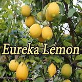 레몬트리 유레카 신품종♥사계성 레몬나무♥시트러스