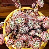 로이드(미국수입) 자연군생 목대 Echeveria minima hyb Roid